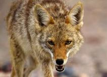 Coyote: pronounced with a long eee at the end