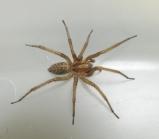 Hobo_Spider_Overview_10_resize_ryan_davis_usu